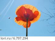 Пчела летит к маку в мае. Стоковое фото, фотограф Мария Мухина / Фотобанк Лори