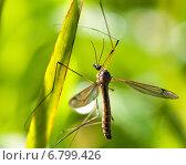 Купить «Большой комар долгоножка сидит на травинке», эксклюзивное фото № 6799426, снято 9 августа 2014 г. (c) Игорь Низов / Фотобанк Лори