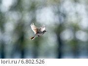 Купить «Жаворонок полевой», фото № 6802526, снято 8 мая 2014 г. (c) Василий Вишневский / Фотобанк Лори