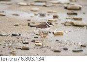 Купить «Галстучник. Птица семейства ржанковых», эксклюзивное фото № 6803134, снято 24 сентября 2014 г. (c) Dmitry29 / Фотобанк Лори