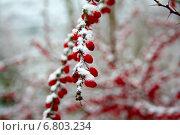Зимний барбарис. Стоковое фото, фотограф Андрей Силивончик / Фотобанк Лори