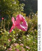 Цветок мальвы на аллее. Стоковое фото, фотограф Александр Боровиков / Фотобанк Лори
