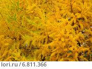 Купить «Осенняя лиственница. Фон», фото № 6811366, снято 9 октября 2011 г. (c) Зобков Георгий / Фотобанк Лори