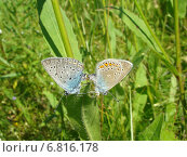 Бабочки голубянки (Polyommatus amandus) Стоковое фото, фотограф Сметанова Наталия / Фотобанк Лори