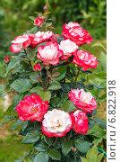 Купить «Чайно-гибридная роза», фото № 6822918, снято 20 июля 2014 г. (c) Ольга Сейфутдинова / Фотобанк Лори