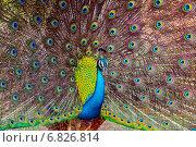 Купить «Павлин обыкновенный», фото № 6826814, снято 8 ноября 2014 г. (c) Эдуард Кислинский / Фотобанк Лори