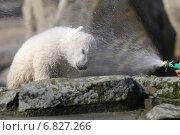 Knut, the polar bear in the Berlin Zoo, Germany (2007 год). Редакционное фото, агентство Caro Photoagency / Фотобанк Лори