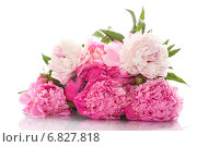 Купить «Букет пионов на белом фоне», фото № 6827818, снято 30 мая 2014 г. (c) Peredniankina / Фотобанк Лори