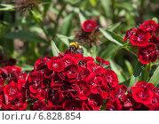 Купить «Шмель (Bombus) на цветке турецкой гвоздики ( Dianthus barbatus)», эксклюзивное фото № 6828854, снято 14 июня 2014 г. (c) Алёшина Оксана / Фотобанк Лори