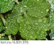 Капли воды на листьях чистотела. Стоковое фото, фотограф Дмитрий / Фотобанк Лори