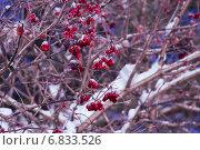 Заснеженная калина. Стоковое фото, фотограф Катя Петросян / Фотобанк Лори