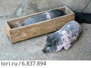 Купить «Декоративные свинки (мини-пиги) отдыхают у деревянной кормушки. Одна свинка спит в кормушке», эксклюзивное фото № 6837894, снято 16 августа 2013 г. (c) Щеголева Ольга / Фотобанк Лори