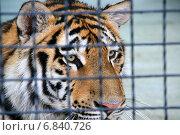 Купить «Тигр внимательно смотрит из клетки (Амурский тигр, Panthera tigris altaica)», эксклюзивное фото № 6840726, снято 12 августа 2012 г. (c) Щеголева Ольга / Фотобанк Лори