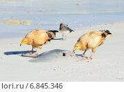 Купить «Стервятники (Neophron Percnopterus) клюют ската на берегу Аравийского моря», фото № 6845346, снято 23 марта 2014 г. (c) Овчинникова Ирина / Фотобанк Лори