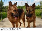 Собаки после купания. Стоковое фото, фотограф Юлия Лекомцева / Фотобанк Лори