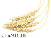 Купить «Колосья пшеницы на белом фоне», фото № 6851818, снято 13 декабря 2019 г. (c) Насыров Руслан / Фотобанк Лори