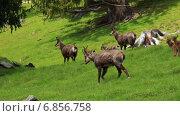 Купить «Олени пасутся на траве», видеоролик № 6856758, снято 28 ноября 2014 г. (c) Сергей Новиков / Фотобанк Лори