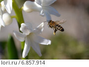 Купить «Пчела у цветка», фото № 6857914, снято 18 апреля 2013 г. (c) Шумилов Владимир / Фотобанк Лори