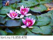 Купить «Кувшинки или нимфеи (Nymphaea)», эксклюзивное фото № 6858478, снято 7 сентября 2012 г. (c) Александр Щепин / Фотобанк Лори