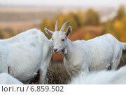 Купить «Козы», эксклюзивное фото № 6859502, снято 21 сентября 2014 г. (c) Дмитрий Неумоин / Фотобанк Лори