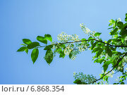 Купить «Черемуха (Prunus padus) на фоне неба», фото № 6868354, снято 12 мая 2014 г. (c) Алёшина Оксана / Фотобанк Лори