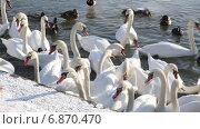 Купить «Лебеди и утки в ожидании кормежки», видеоролик № 6870470, снято 8 января 2015 г. (c) Наталья Волкова / Фотобанк Лори