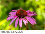Купить «Эхинацея пурпурная», фото № 6872226, снято 19 августа 2012 г. (c) Ольга Сейфутдинова / Фотобанк Лори