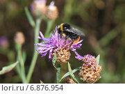 Купить «Шмель (Bombus) на васильке луговом (Centaurea jacea)», эксклюзивное фото № 6876954, снято 28 июля 2012 г. (c) Алёшина Оксана / Фотобанк Лори