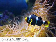 Купить «Рыба-клоун или амфиприон (Amphiprioninae, Amphiprion) черно-белая разновидность», фото № 6881570, снято 27 февраля 2014 г. (c) Игорь Долгов / Фотобанк Лори