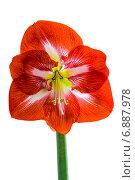 Купить «Цветок Амариллиса на белом фоне», фото № 6887978, снято 27 декабря 2013 г. (c) Ольга Сейфутдинова / Фотобанк Лори