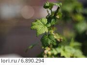 Ветка смородины. Стоковое фото, фотограф Alina Kizner / Фотобанк Лори