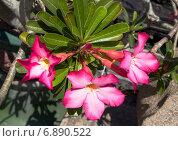 Купить «Цветок  Роза пустыни», фото № 6890522, снято 18 ноября 2014 г. (c) Галина Савина / Фотобанк Лори