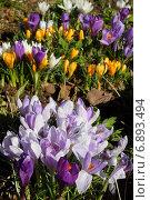 Крокусы. Весенние первоцветы. Стоковое фото, фотограф Мельникова Надежда / Фотобанк Лори