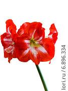 Купить «Цветок Амариллиса на белом фоне», фото № 6896334, снято 27 декабря 2013 г. (c) Ольга Сейфутдинова / Фотобанк Лори