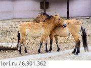 Купить «Лошади Пржевальского», фото № 6901362, снято 23 сентября 2014 г. (c) Макарова Елена / Фотобанк Лори
