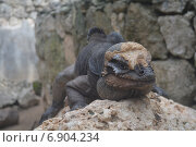 Игуана. Стоковое фото, фотограф Васильева Екатерина / Фотобанк Лори