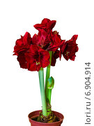 Купить «Красный амариллис растет в горшке на белом фоне», фото № 6904914, снято 27 декабря 2013 г. (c) Ольга Сейфутдинова / Фотобанк Лори