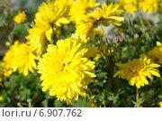 Купить «Желтые осенние хризантемы в саду», эксклюзивное фото № 6907762, снято 12 сентября 2014 г. (c) Елена Коромыслова / Фотобанк Лори