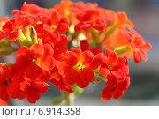 Купить «Красные цветы каланхоэ Блоссфельда, соцветие крупным планом», фото № 6914358, снято 4 января 2015 г. (c) Ирина Водяник / Фотобанк Лори
