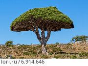 Драконовое дерево. Стоковое фото, фотограф Вадим Козуренко / Фотобанк Лори