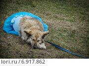 Собака в юбке спин на траве. Стоковое фото, фотограф Artem Kotelnikov / Фотобанк Лори