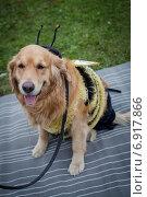 Собака в костюме пчелки. Стоковое фото, фотограф Artem Kotelnikov / Фотобанк Лори