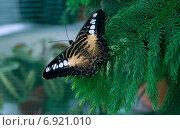 Тропическая бабочка Сильвия Тигровая. Стоковое фото, фотограф Вотякова Ирина / Фотобанк Лори