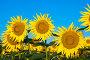 Подсолнухи на фоне голубого небо, фото № 6926222, снято 10 июля 2014 г. (c) Игорь Дашко / Фотобанк Лори