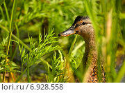 Купить «Утка-кряква на страже в зарослях высокой травы», фото № 6928558, снято 10 августа 2009 г. (c) Tatiana Tetereva / Фотобанк Лори