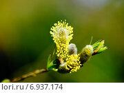 Купить «Распускающая верба на зеленом фоне», фото № 6937174, снято 23 марта 2012 г. (c) Татьяна Кахилл / Фотобанк Лори