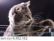 Купить «Серый кот играет с веточкой», фото № 6952162, снято 3 марта 2008 г. (c) Сурикова Ирина / Фотобанк Лори