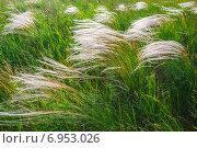 Купить «Ковыль на закате», фото № 6953026, снято 7 июня 2013 г. (c) Олег Жуков / Фотобанк Лори
