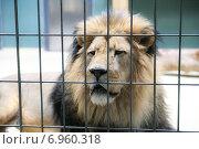 Лев за решеткой клетки. Стоковое фото, фотограф Оксана Алексеенко / Фотобанк Лори