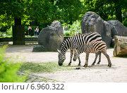 Зебра с жеребенком в зоопарке. Стоковое фото, фотограф Оксана Алексеенко / Фотобанк Лори
